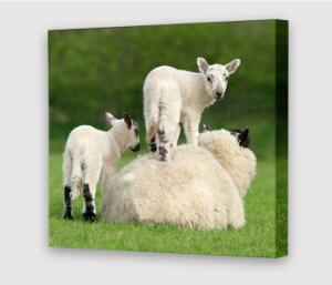canvas-square-lambs.jpg